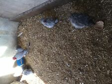 6 LAVENDER FRIZZLE PEKIN BANTAM HATCHING EGGS FOR INCUBATION