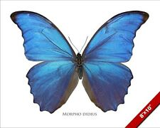 GIANT BLUE MORPHO DIDIUS MALE BUTTERFLY PHOTO ART REAL CANVAS GICLEE LARGE PRINT