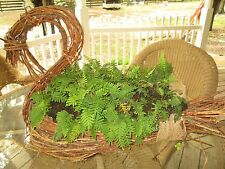 Set of 5 resurrection ferns-lots of them offered at a reduced price
