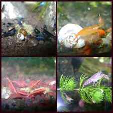 6 RED CHERRY, 6 BLUE DREAM RILI, 6 ORANGE SAKURA SHRIMPS 4 DWARF CRAYS 9 SNAILS