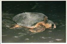 Loggerhead Turtle, Coastal South Carolina, Endangered Species -- Animal Postcard