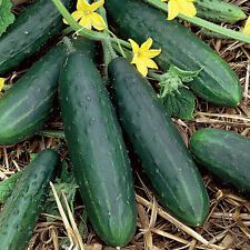 Heirloom Spacemaster Cucumber 100 Seeds Non-GMO USA + FREE Gift & COMB S/H