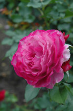Wild Blue Yonder Rose Live Plant Bare Rooted