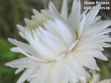 100 DOUBLE WHITE STRAWFLOWER Helichrysum Seeds *Comb SH