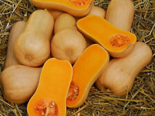 25 WALTHAM BUTTERNUT SQUASH 2017 (all non-gmo heirloom vegetable seeds!)