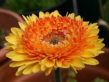 Gerbera Daisy Seeds - CREAMSICLE - Excellent for Arrangements -10 Seeds