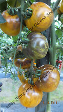 SUPER RARE Blue-Yellow Striped Tomato PRIMARY COLORS 10 Heirloom Organic Seeds