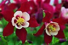 Red & White Columbine Mix! 25 Seeds!  Comb. S/H! SEE OUR STORE!