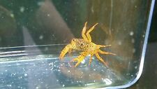 1 Live Freshwater Tropical Panther Crab