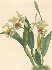 LEUTZSCH MOON GERMAN CATTLEYA ORCHID OLD ART PAINTING POSTER PRINT BB6028A
