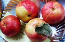 Rare Bonsai Red Sweet Guava , Apple Guava , Allahabad Safeda 15 seedS PACK
