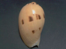 001-Voluta seashell Melo tesselata 76.3 mm.