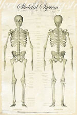 (LAMINATED) HUMAN BODY SKELETAL SYSTEM POSTER (91x61cm) MEDICAL CHART PICTURE