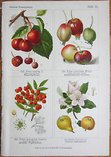 Vilmorin: Flowers Beautiful Print Apple Quince - 1896