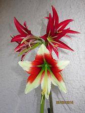 "Hippeastrum ""Machala"" X Hippeastrum bukasovii, 5 seeds"