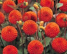 New Dahlia Bulb/Tuber Ball Dahlia 'New Baby' Summer Flowering Bulbs