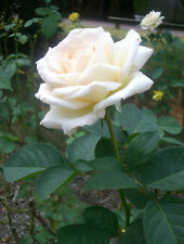 Live White Rose Plant White Rose Grafted Flower Plant 4 Plants