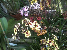 Orchid Equitant Oncidium Tolumnia Tropical Plants 6 plant package some in spike