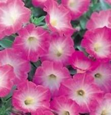 Petunia - Colorama Mixed - 1500 Seeds