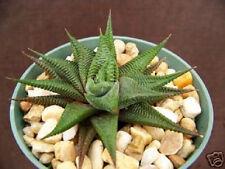 """4"""" HAWORTHIA Limifolia rare succulent plant cactus aloe outdoor indoor cacti pot"""