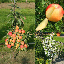 Amazing! TINY! Apple tree 'Mini Lilly' perfect for pot growing! VERY HARDY seeds