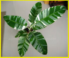 "Musa Banana ""FLORIDA"" Beautiful Variegated Leaf & Hard to fine +Free Phyto@@"