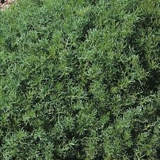 Herb Seeds - Chamomile Lawn - 2500 Seeds