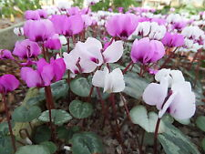 Mixed Hardy Cyclamen. 200 seeds. Mixed colours, leaf forms 2016