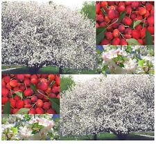 Siberian Manchurian Chinese CRAB APPLES - Malus baccata SEEDS 20 seeds