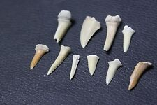 10 x 100 MYO shark teeth genuine dinosaur age fossil teaching aid