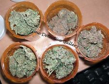 Medicinal Marijuana Strains - Giclee Photo Print