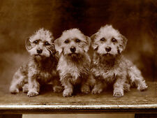 DANDIE DINMONT TERRIER THREE DOGS IN A ROW CHARMING DOG GREETINGS NOTE CARD