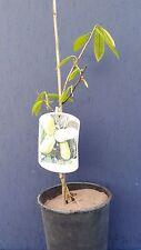 ASIMINA TRILOBA var SUNFLOWER v20 Banano di montagna pianta Pawpaw plant grafted
