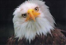 Lentikular - Wackelkarte: Weißkopfseeadler dreht seinen Kopf - Bald Eagle