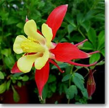 25+ Coral /Yellow Aquilegia Koralle Flower Seeds  / Perennial
