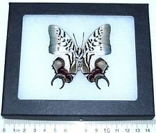 REAL FRAMED BUTTERFLY POLYURA DEHAANI VERSO