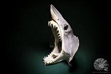 Isurus oxyrinchus + Kurzflossen Mako + Hai + Shortfin mako shark + Präparat
