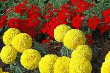 Flower seed - Marigold African Hybrid Mix
