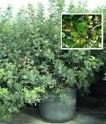 Atlantischer Pistazienbaum - Auch im Topf trägt er tausende Pistazien ! Samen ..