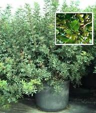 immergrüne Mittelmeerpflanze: Atlantische Pistazie / Frosthart bis - 10° / Samen
