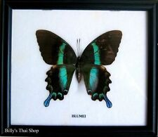 PAPILIO Blumei * Green Swallowtail Butterfly *Insect*Framed*Mounted*Taxidermy* U