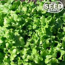 Salad Bowl Lettuce Seeds - 1,000 SEEDS NON-GMO