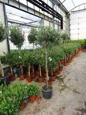 Olivenbaum Olea ca. 160 - 170 cm Olive Öl Olivenöl Europa winterhart immergrün