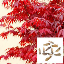 10PCS Beauty Red Maple Seeds JAPANESE Maple Tree Acer Palmatum Garden home Decor