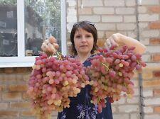 kernlose WELES Weintrauben Weinreben Weinstock Traube Wein Ihrer Wahl