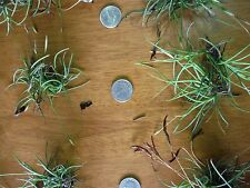 10 Clusters Live and Healthy Tillandsia recurvata Ball Moss Air Plants FREE SHIP