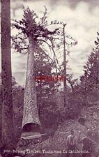 two men watch FALLING TIMBER, TUOLUMNE CO. CALIFORNIA, Sierra Nevada