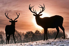 Framed Print - Sunset in the Wild with 2 Stags (Picture Poster Animal Art)