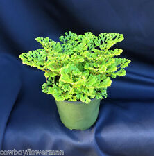 "SELAGINELLA  'LACEY SPIKEMOSS'  COOL NEW SPIKEMOSS, aka. AVATAR PLANT, 4"" POT"