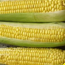 100 Bodacious Hybrid Sweet Corn Seeds - Gold Vault Jumbo Seed Packet